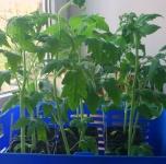 Pomidorai auginti po lempa