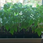 Natūraliai auginti pomidorai