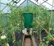 Pomidorai po skabymo