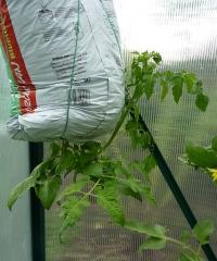 Kabandtis pomidoras