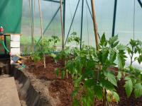 Pomidorų sodinimas