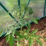 Pomidoras pririštas virve