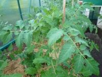 Pomidoro lapai