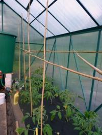 Parišti pomidorai