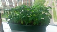 Vazoniniai pomidorai